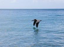 Vôo do pelicano sobre a água Fotografia de Stock