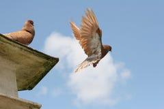 Vôo do pombo de Brown afastado Imagens de Stock Royalty Free