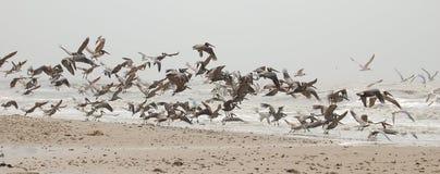 Vôo dos pelicanos Imagem de Stock