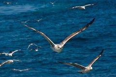 Vôo próximo da gaivota fotografia de stock royalty free