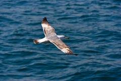 Vôo próximo da gaivota baixo Fotografia de Stock