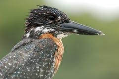 Vögel in Afrika: Riesiger Eisvogel stockfoto