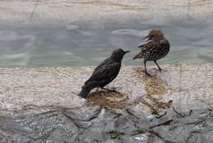 Vögel argumentieren im Stadtbrunnen Stockfoto