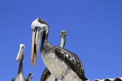 Vögel auf dem Hafen von Coquimbo Chile lizenzfreie stockfotos
