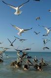 Vögel auf dem Strand von Holbox Lizenzfreie Stockfotografie
