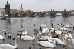Vögel auf den Banken der Moldaus Lizenzfreie Stockfotografie