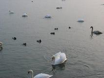 Vögel auf einem Teich während des Winters Stockfoto