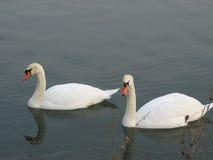 Vögel auf einem Teich während des Winters Stockbilder