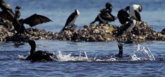 Vögel auf Felsen und im Wasser stock video footage