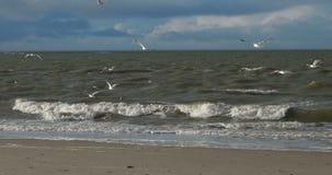 Vögel auf Nordfrisianinselstrand von Amrum stock footage