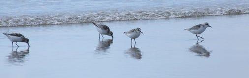 Vögel auf Strand durch Meer Lizenzfreie Stockbilder