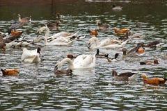 Vögel auf Teich Lizenzfreie Stockfotografie