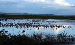 Vögel auf Teich an der Dämmerung Lizenzfreies Stockbild