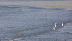 Vögel auf Wellen stock video footage