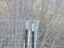 Vögel auf Zaun Stockfotografie
