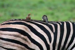 Vögel auf Zebra Stockbild