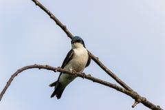 Vögel - Baum-Schwalbe bereit, wieder zu fliegen Lizenzfreie Stockfotografie