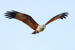Vögel Brahminy-Drachen Haliastur Indus, die in den Himmel fliegen Lizenzfreies Stockfoto