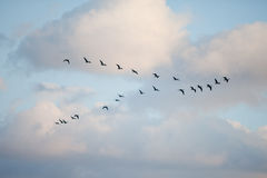 Vögel in der Bildung Lizenzfreies Stockbild