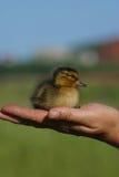 Vögel in der Hand Stockbild