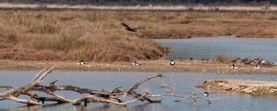 Vögel in der Lagune stockfoto