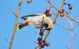 Vögel der Steppen Lizenzfreies Stockbild