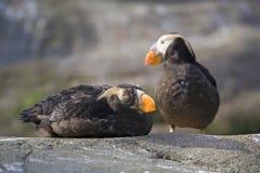 Vögel des büscheligen Papageientauchers Stockbilder