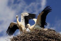 Vögel des weißen Storchs auf einem Nest würzen im Frühjahr Lizenzfreies Stockfoto