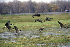 Vögel, die über nationales Schutzgebiet Montezuma, Seneca Falls, NY fliegen stockbilder