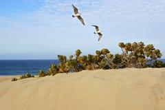 Vögel, die über Sanddüne am Strand fliegen Stockbilder