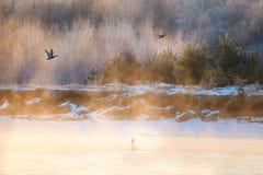 Vögel, die über See bei Sonnenaufgang fliegen Schwanschwimmen im Winter lizenzfreie stockfotos