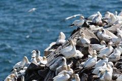 Vögel, die auf der Felsen Kap-St- Mary` s ökologischen Reserve nisten Lizenzfreies Stockfoto