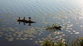 Vögel, die auf einem Klotz am See mit Seerosen auf einem sonnigen Morgen sitzen Stockfoto