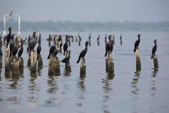 Vögel, die auf konkreten Säulen, Maracaibo-See, Venezuela hocken Stockfotos