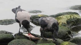 Vögel, die das Lebensmittel isst Fische teilen stock video
