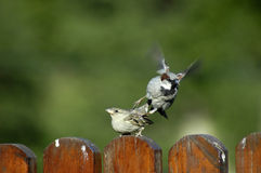 Vögel, die Geschlecht haben stockbild