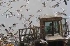 Vögel, die im Abfall, Seemöwen schauen lizenzfreie stockfotos