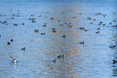 Vögel, die im See schwimmen Stockbilder