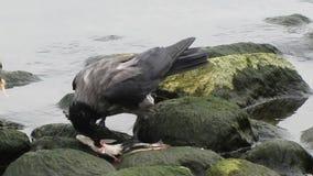 Vögel, die Innereienfische teilend essen stock video