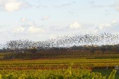 Vögel, die südwärts fliegen Stockfoto