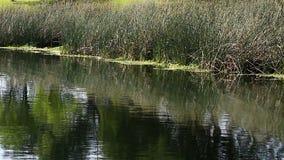 Vögel, die um grüne Schilfe auf Rand von Teich fliegen stock video