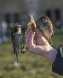 Vögel, die von der Kinderhand essen lizenzfreie stockbilder
