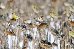Vögel essen Sonnenblumensamen auf einem Wintergebiet lizenzfreies stockfoto