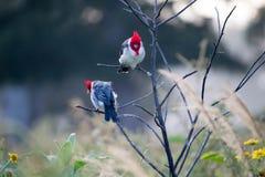 Vögel (Graukardinal) auf der Niederlassung Lizenzfreies Stockfoto