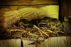 Vögel im Nest lizenzfreies stockbild