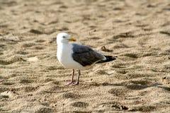 Vögel im Sand des Strandes Stockfoto