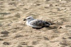 Vögel im Sand des Strandes Stockfotografie