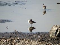 Vögel im Sumpf Palud-` s ornithologischer Reserve Stockbilder