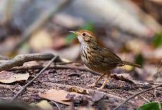 Vögel, Lerchen rieben in einem natürlichen Verfasser lizenzfreie stockfotografie