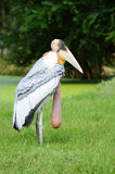 Vögel marabu Stockfoto